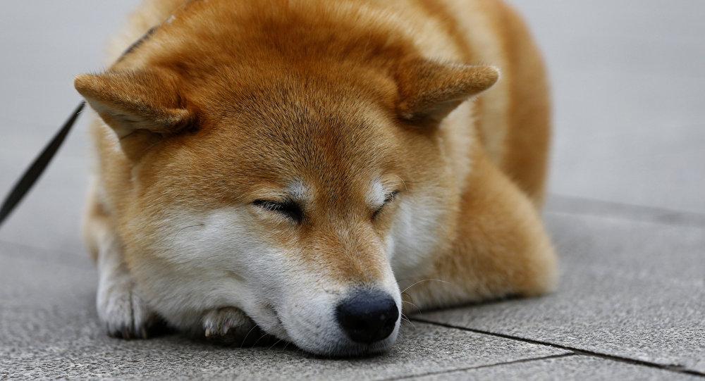 Shiba Inu Maru Hund