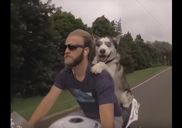 Un bon duo: un husky et son propriétaire à moto et en lunettes!