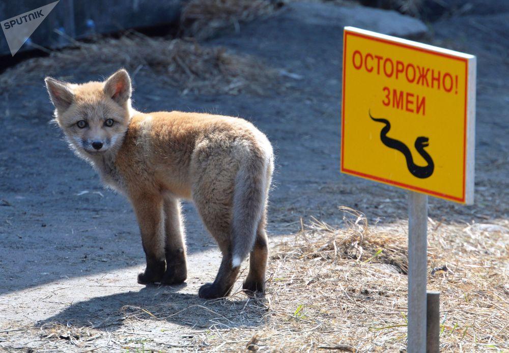 Un renard avec ses petits s'est installé près de l'océanarium sur l'île Rousski