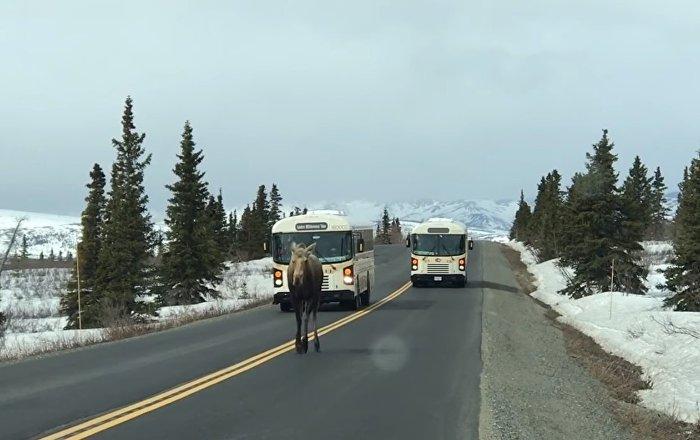 Moose Holds Up Traffic || ViralHog