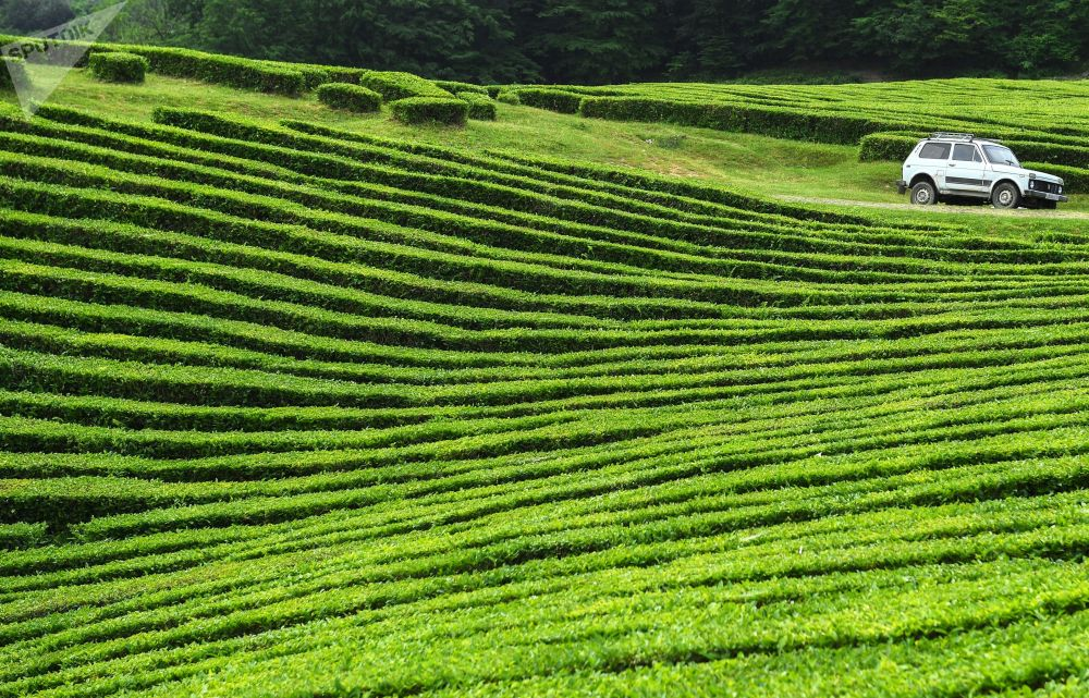 La plantation de thé de Matsesta à Sotchi