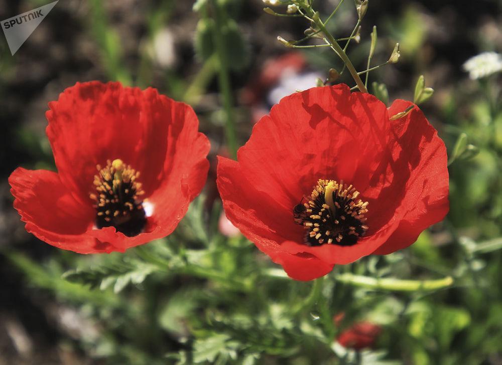 Champs de fleurs près d'Almaty: 12 clichés à couper le souffle