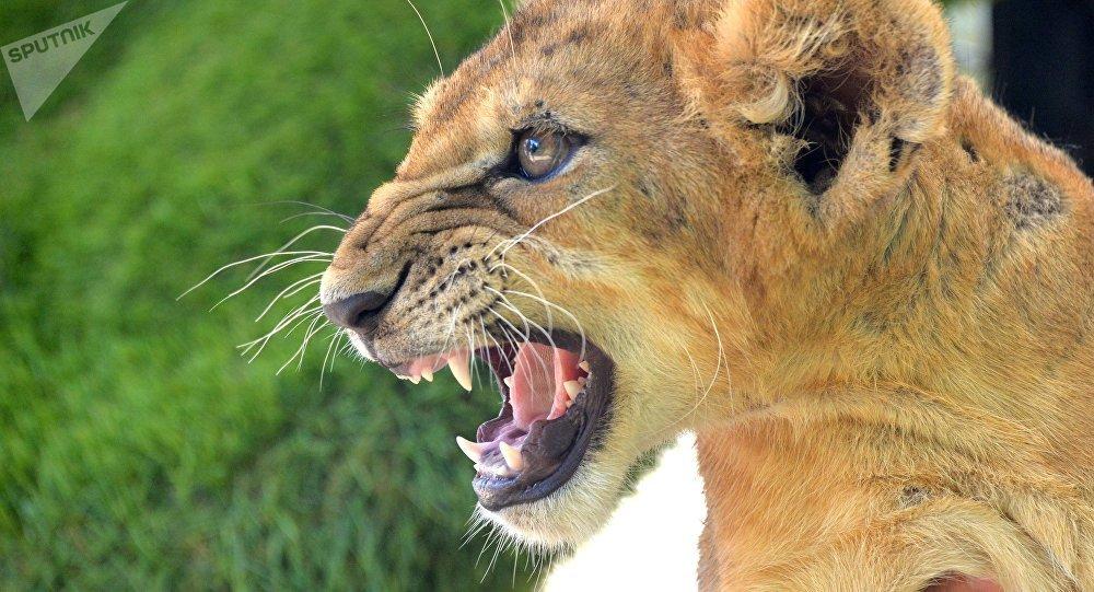 Une lionne du parc Taïgan