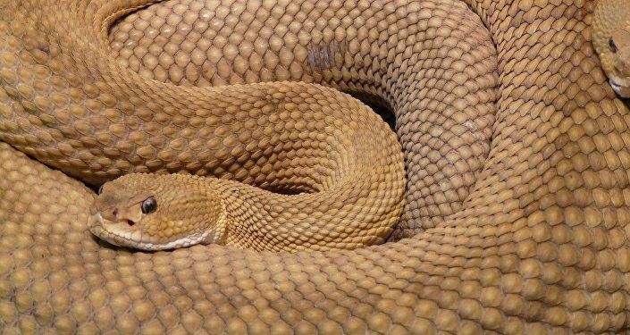 un serpent à sonnettes