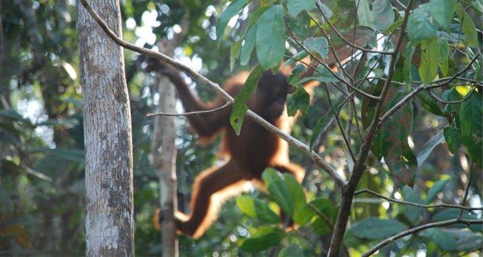 Un orang-outan