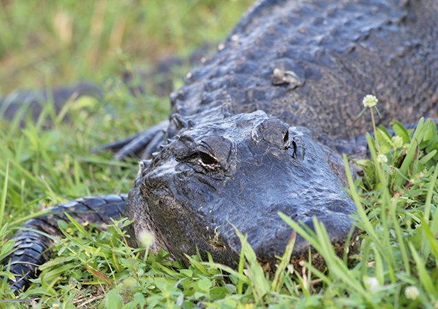 Alligator (Symbolbild)