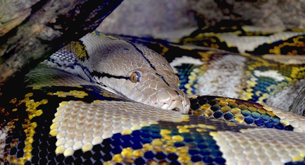 Une femme a été avalée par un python de sept mètres — Indonésie