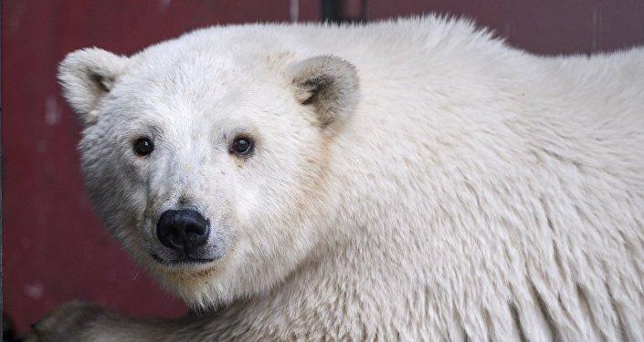Белого медвежонка из Якутии привезли в зоопитомник Московского зоопарка