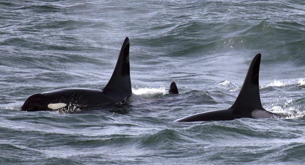 «Ils vont nous manger»: 300 orques encerclent un bateau