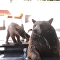 'Not in my Backyard!': Dog Loses it Over Grizzly Guests in Yard