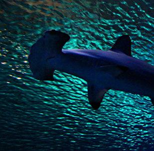 Un requin marteau