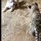 Une amitié rarissime: un bébé tigre traite un toutou comme s'il était son frère