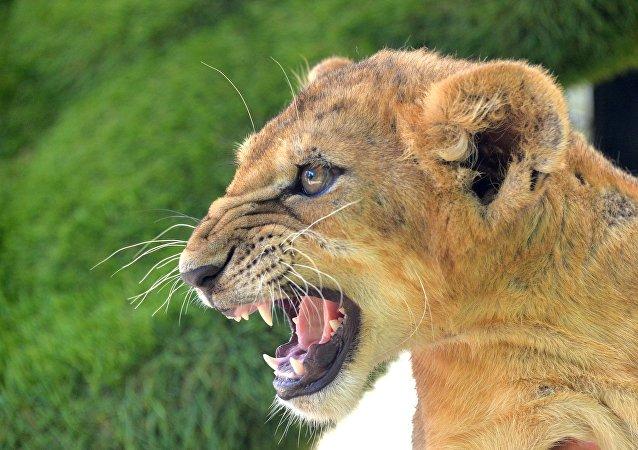 Une lionne