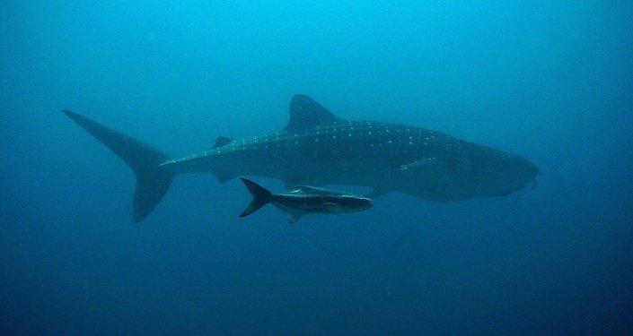 Un requin baleine