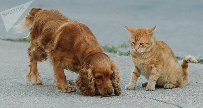 Un cocker spaniel et un chat roux (image d'illustration)