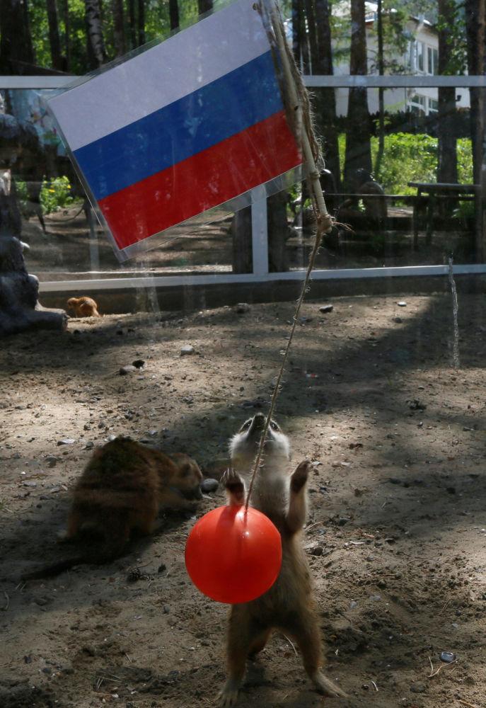 Ces animaux capables de prédire (ou non) les résultats de la Coupe du monde 2018