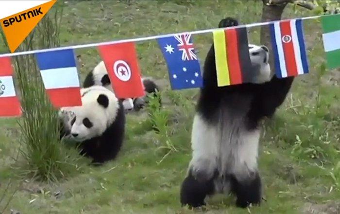 Des pandas qui peuvent prédire les résultats du Mondial… Ou non?