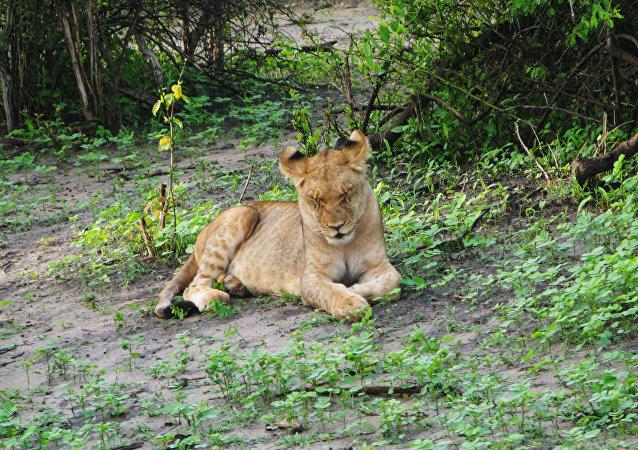 Un jeune lion