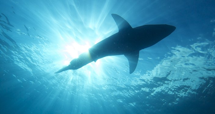 un requin (image d'illustration)