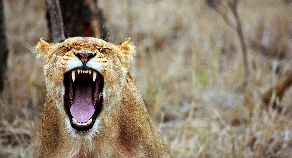 Une lionnne