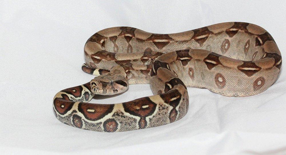 Un boa constrictor