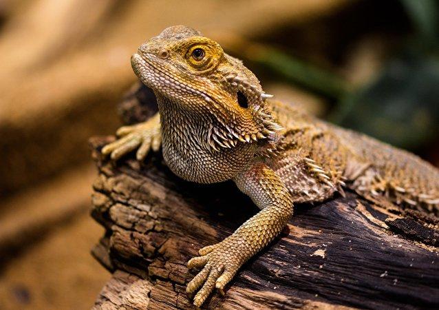 Argentine: un reptile en voie d'extinction bloque l'exploitation d'un gisement gazier