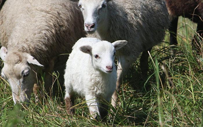 les iraniens appr cient de plus en plus la viande de mouton halal import e de russie sputnik. Black Bedroom Furniture Sets. Home Design Ideas