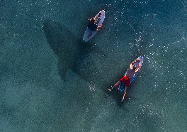 Surfers et un requin