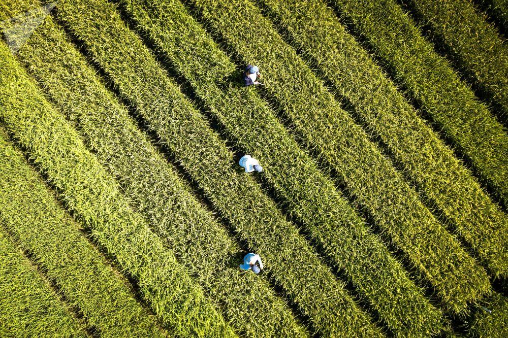 Culture du riz par la holding agricole AFG National dans la région de Krasnodar.