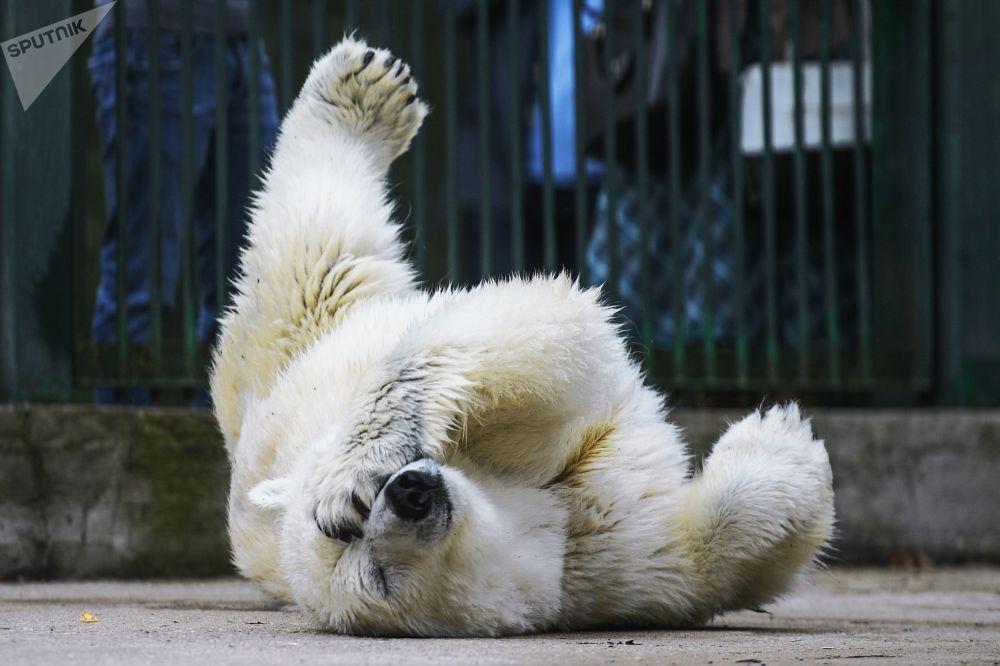 L'ourse blanche Umka-Ayana, arrivée de Iakoutie, dans un enclos du Centre de reproduction des espèces animales rares du Zoo de Moscou.