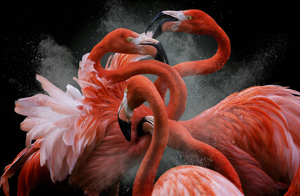 Black Friday, par le photographe péruvien Pedro Jarque Krebs, gagnant du concours de photographie Bird Photographer of the Year 2018.