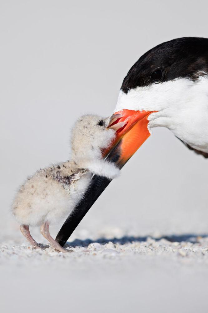 Black Skimmer, par le photographe américain Thomas Chadwick qui a remporté la troisième place dans la catégorie Bird Behaviour du concours de photographie Bird Photographer of the Year 2018.