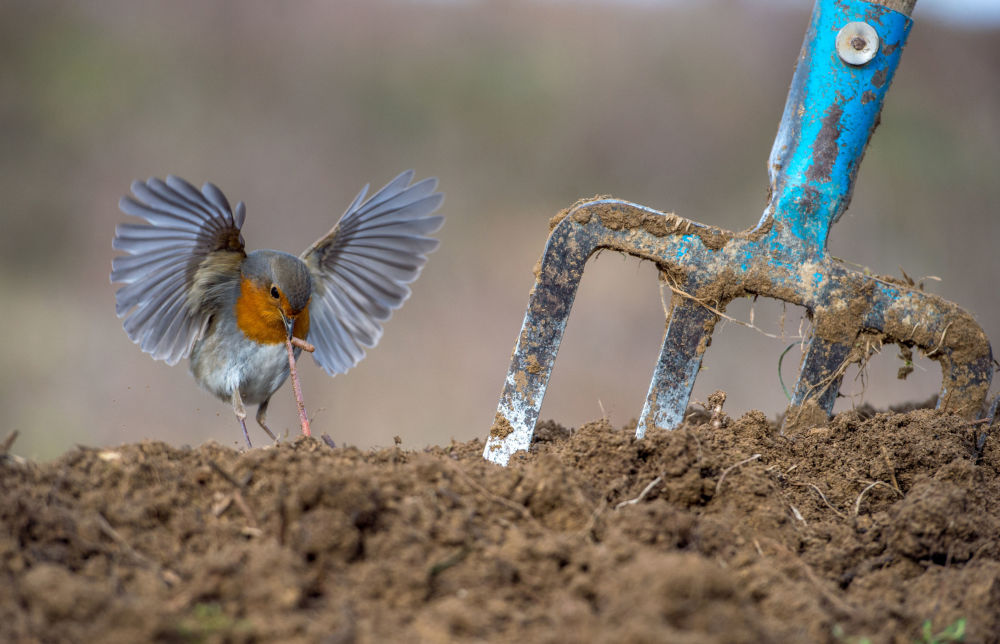 European robin, par le photographe grec Nikos Bukas, gagnant dans la catégorie Garden and Urban Birds du concours de photographie Bird Photographer of the Year 2018.