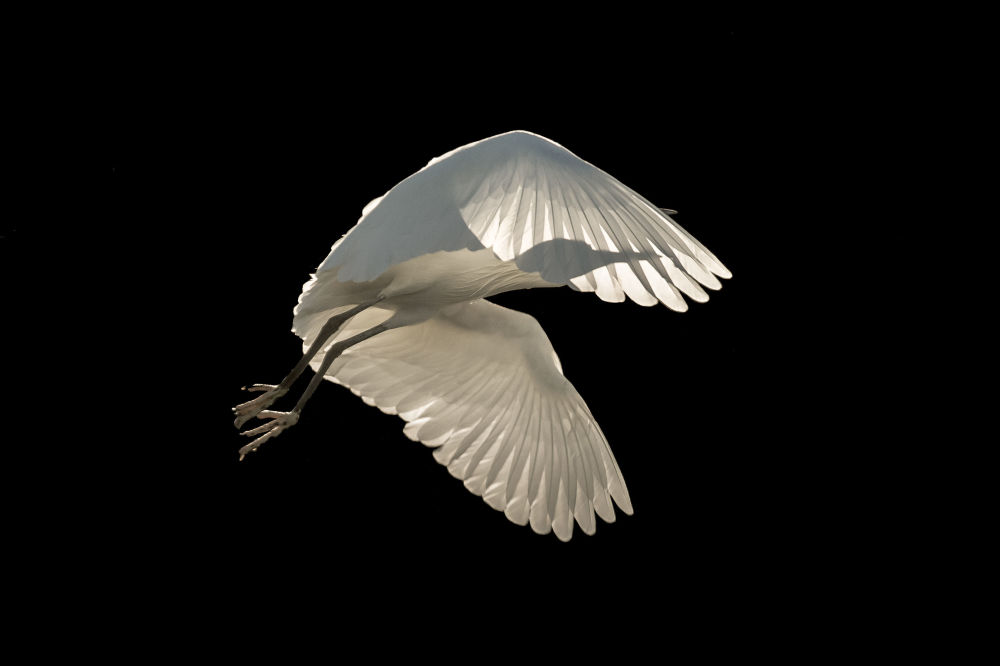Little Egret, par la photographe britannique Sienna Anderson, gagnante dans la catégorie Birds in Flight du concours de photographie Bird Photographer of the Year 2018.