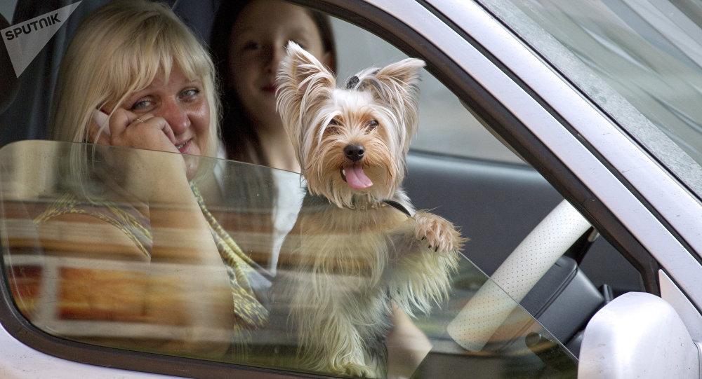 Un chien sort sa tête par la fenêtre de la voiture
