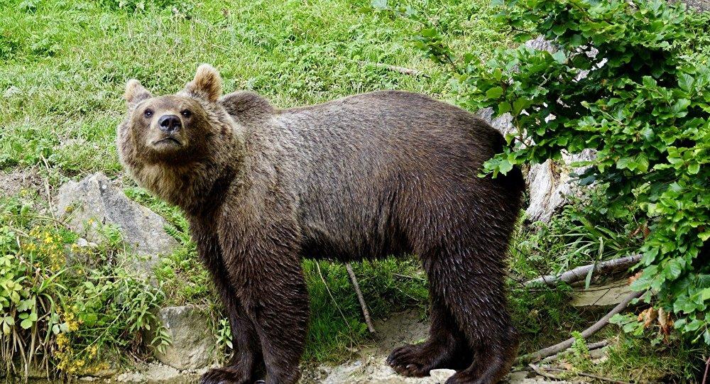 Un ours brun
