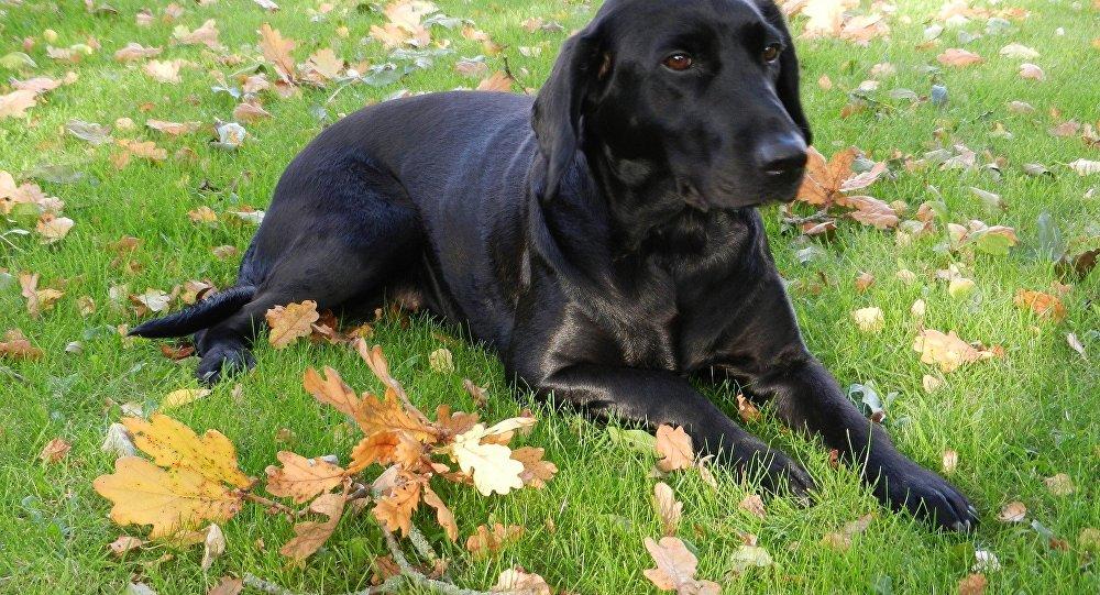 un labrador noir
