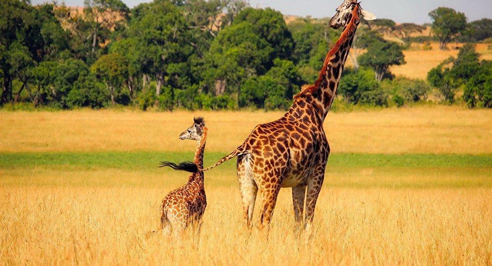 Un accident rarissime a provoqué la mort de deux girafes dans un parc de Floride