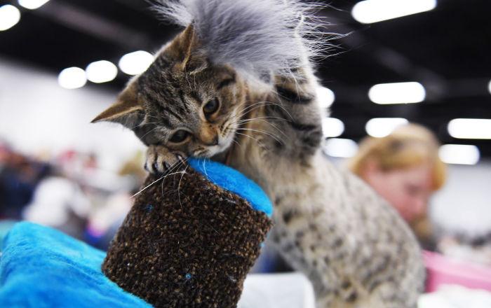 L'exposition de chats Zvezda 2018 à Moscou