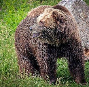 Un ours grizzli