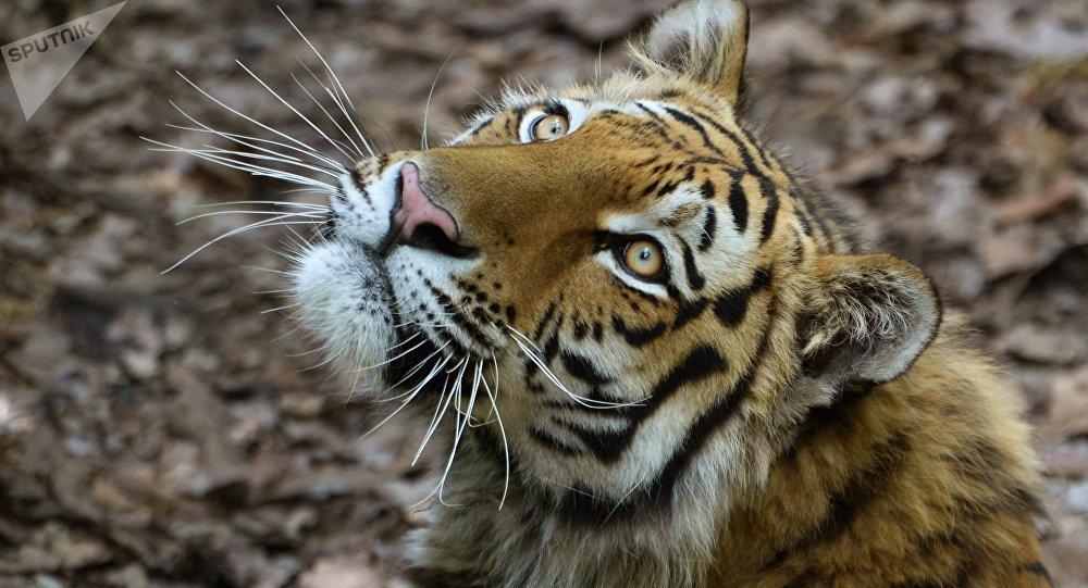 Un tigre de l'Amour