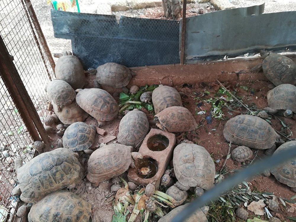 Un habitant d'Alep recueille chez lui des dizaines de tortues
