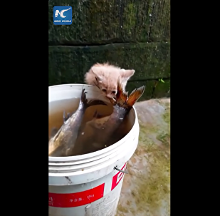 Kitten tries to steal giant fish from water bucket
