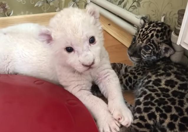 Ces adorables bébés lion et jaguar jouent ensemble