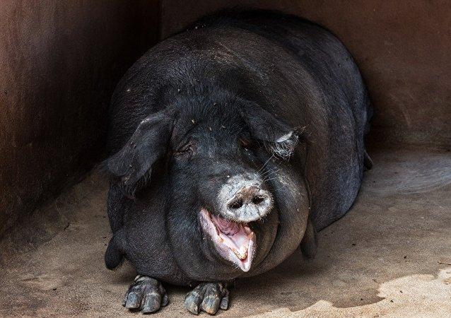 un porc noir
