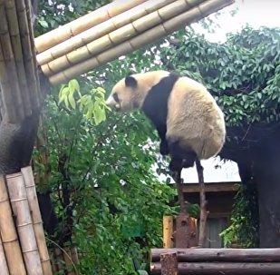 Ce panda qui bouscule les stéréotypes