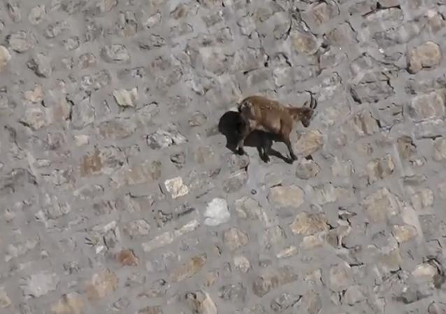 Chèvre alpique
