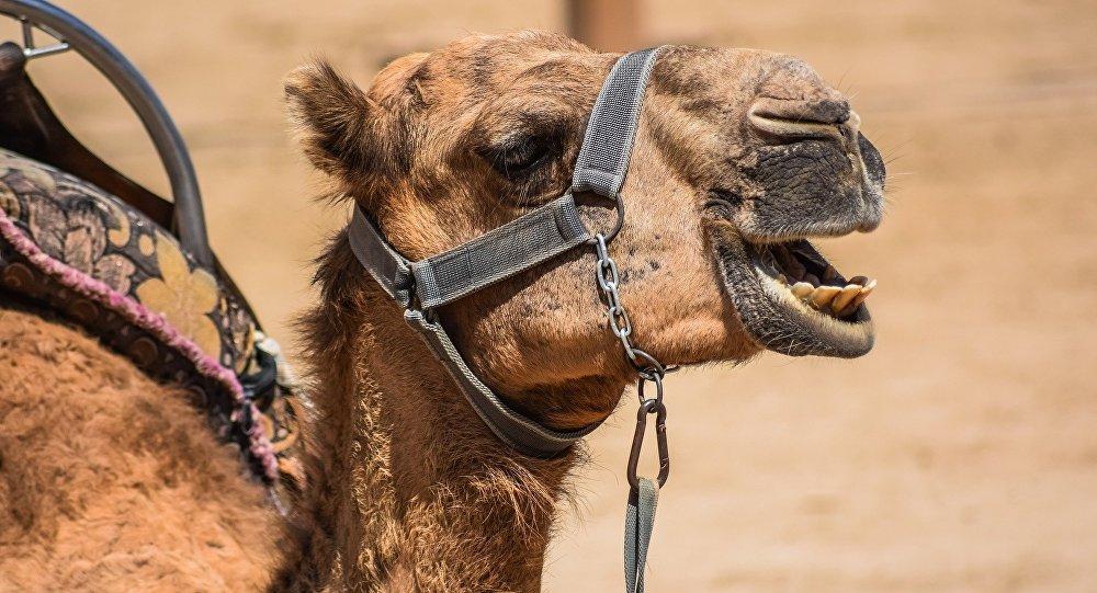 Un chameau (image d'illustration)