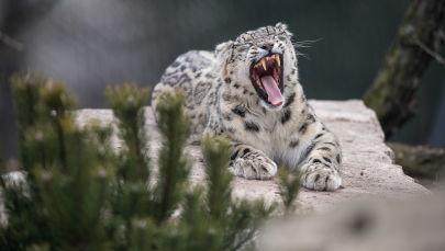 La Journée internationale du léopard des neiges