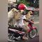 trois chiens sur un scooter